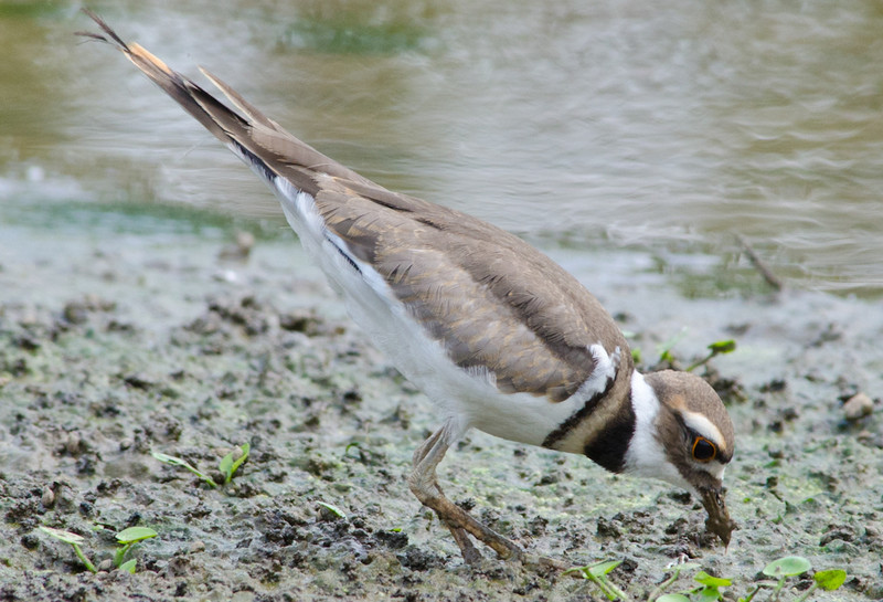 26 May 2012 Recently fledged Killdeer at Lickinghole Creek.  Note the brown between the two black neck bands and also the pale rusty fringes on back and wing feathers.