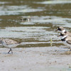 26 May 2012 Semipalmated Sandpipers retreat from facedown by Semipalmated Plovers at Lickinghole Creek