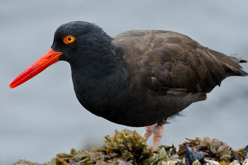 Black Oystercatcher, Point Lobos, California. 22 August, 2012