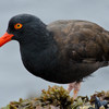Black Oystercatcher, Point Lobos, California. 22 August, 2012
