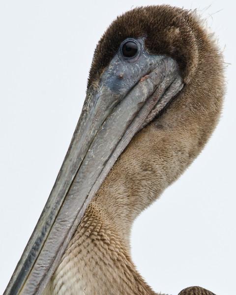 juvenile Brown Pelican, Bodega Bay, California. 23 August, 2012