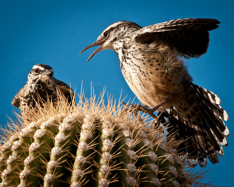 Cactus Wren pair, Picacho Peak State Park, Arizona. 8 November 2009.