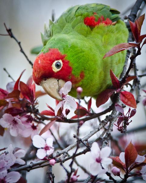 Red-masked Parakeet, Sue Bierman Park, San Francisco, California. 9 February 2011