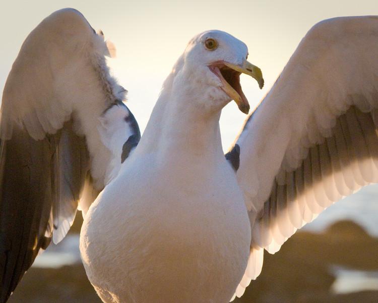 Western Gull (aka Sarah Palin), Crystal Cove, California. 12 November, 2008.