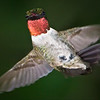 Hummingbird Acrobatics