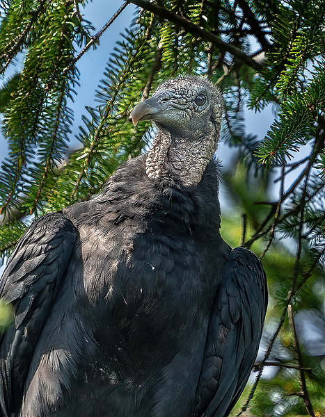 The Inquisitive Mind of a Black Vulture