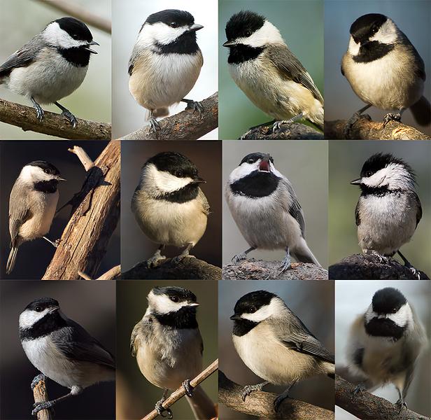 Chickadee collage