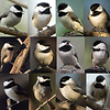 Chickadee collage