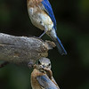 Bluebirds feeding chicks