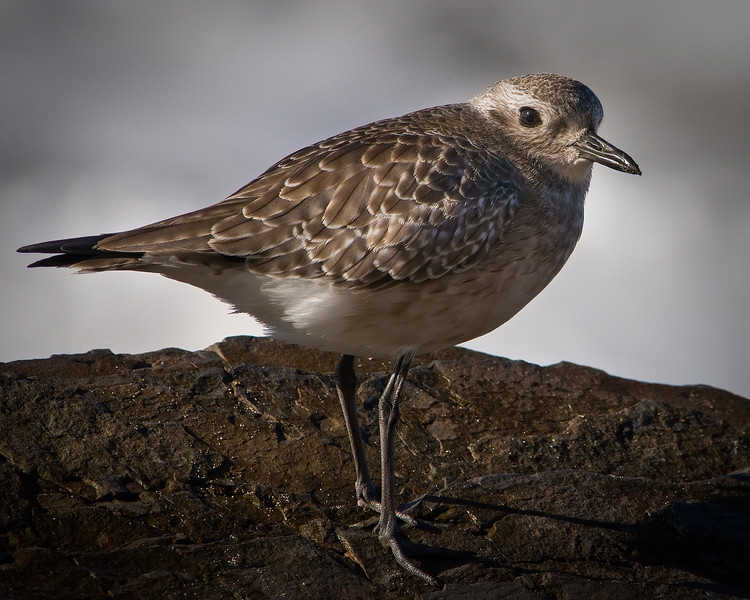 Wary Plover