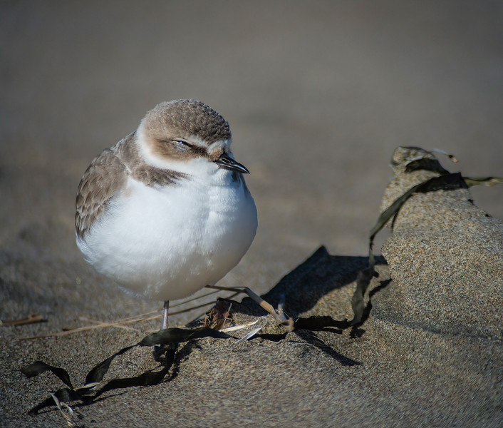 Sleepy Snowy Plover