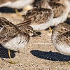 Least Sandpiper stretching