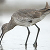 Willet seeking sandcrab (Emerita)
