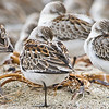 Westerm Sandpipers roosting on the beach