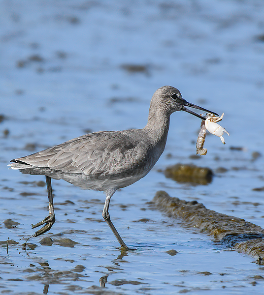 Triumphant Willet