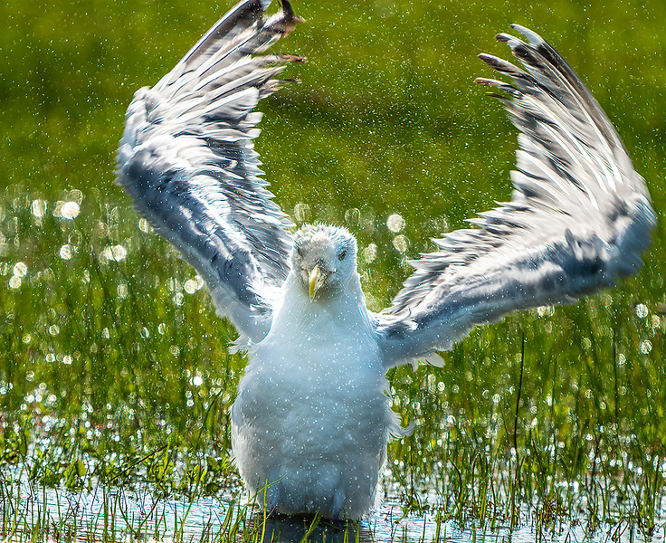 Herring Gull splatter