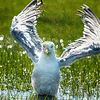 Herring Gull splatter