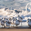 Sanderling on the shore