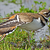 Killdeer yoga