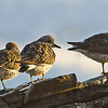 Surfbirds perched above the waves