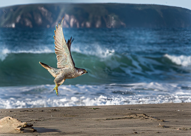 Hunting Sanderling