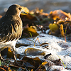 Black Turnstone amidst surf and algae