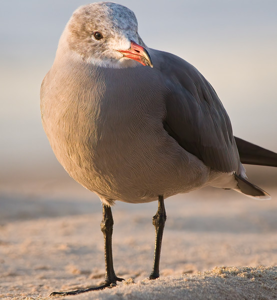 Heerman's Gull portrait