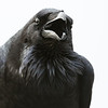 Raven Full Frontal