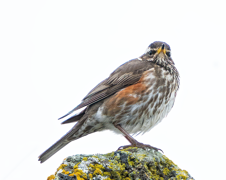 The Gaze of the Redwing
