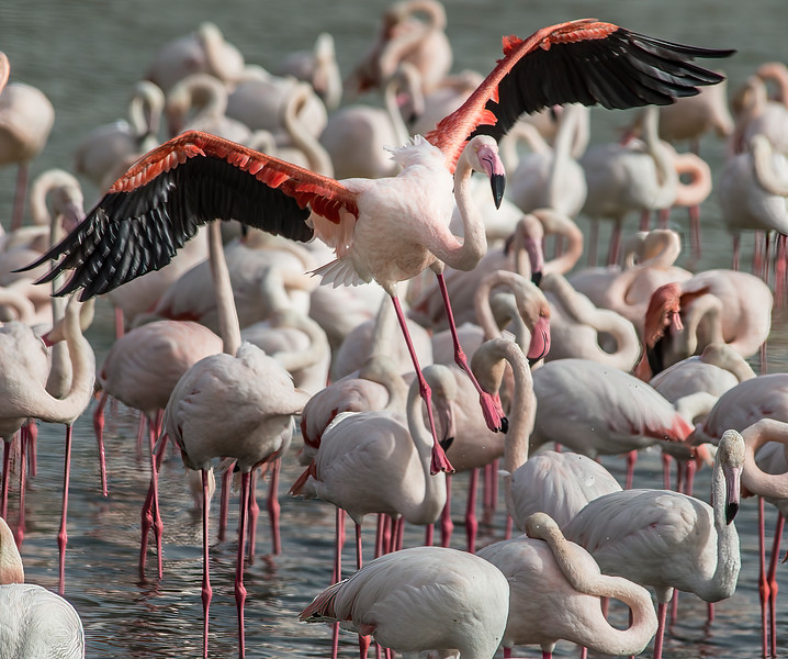 Flamingo Flaps Lowered