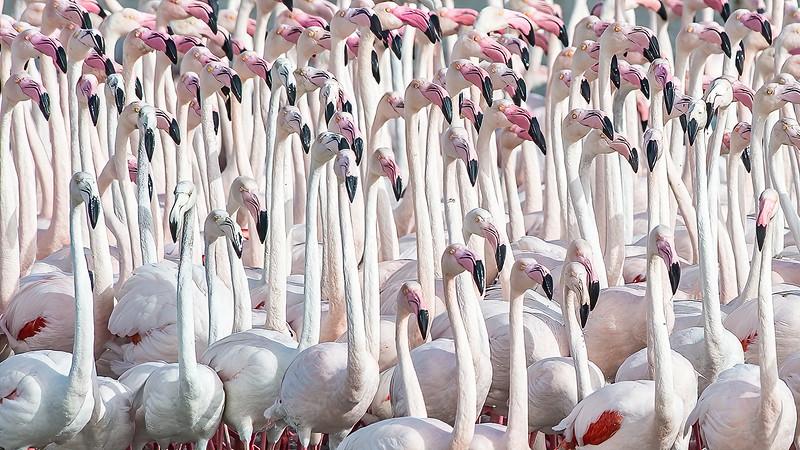 Flamingo Judgement