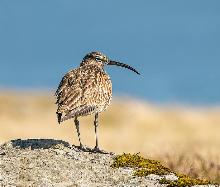 Whimbrel Watch