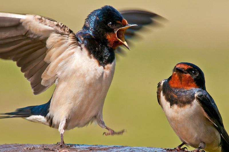 Shakespearan Swallow