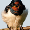 Barn Swallow Bluster
