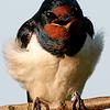 Barn Swallow Bluster