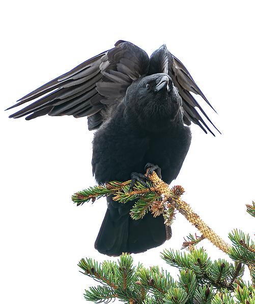NW Crow Yoga