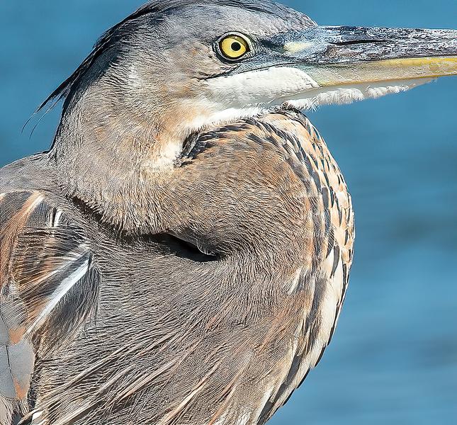 Eyeball of a heron