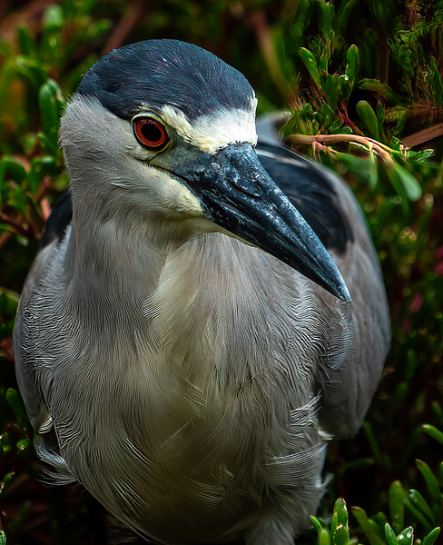 Shortly after I photographed this Black-crowned Night-Heron in Pu'uhonua o Hōnaunau, Hawaii, it snagged a fish almost too large for it to swallow. But it succeeded.