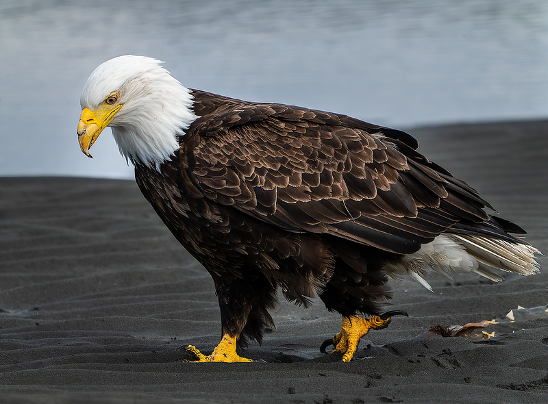 Intertidalness in Bald Eagles