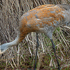 Painted Crane