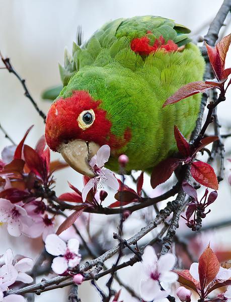 Parrot Interruptis