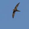 Gierzwaluw - Swift