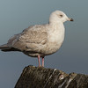 Kleine Burgemeester - Iceland Gull