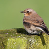 Tapuit - Northern Wheatear