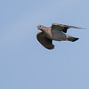 Holenduif - Stock Dove
