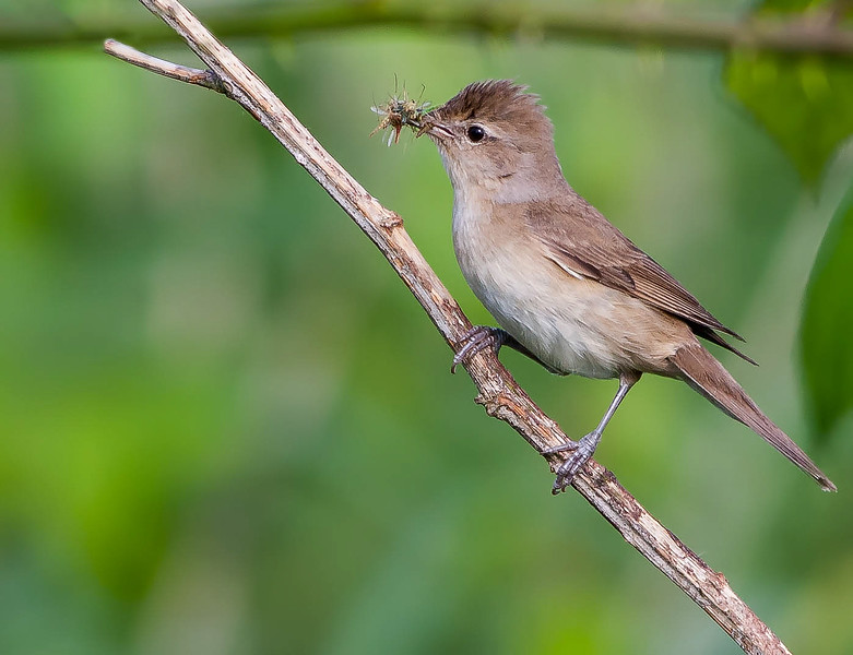 Kleine Karekiet - Eurasian Reed Warbler