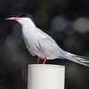 Visdief -mCommon Tern