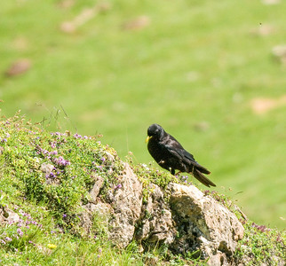 Alpenkauw - Alpine chough