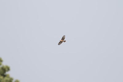 Arendbuizerd - Long-legged Buzzard
