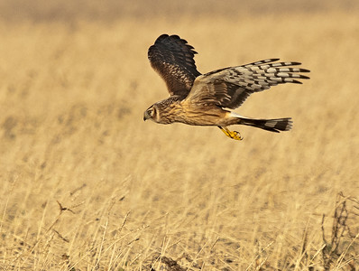 Blauwe Kiekendief - Hen Harrier